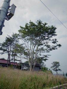 この木に10数人が登って九死に一生を得た