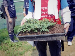 葉や芽が出てきたシロダモ(シロタブ)の苗。これらを一本一本ポットに移す