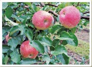 米崎りんご